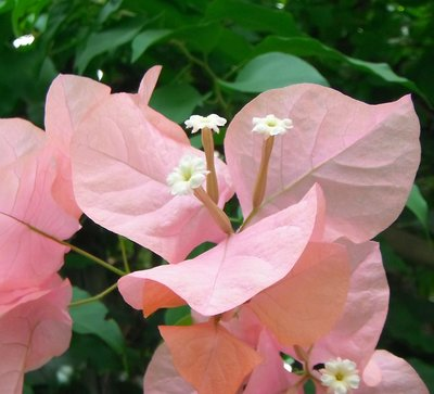 BLOESEMREMEDIE BOUGAINVILLEA (Bougainvillea spectabilis)  Inhoud 10 cc