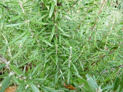 Rozemarijn (bloem/plant) 30 cc etherische olie