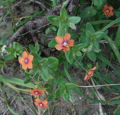 Bloesemremedie Guichelheil, Rood (Anagallis arvensis) Inhoud 10 cc