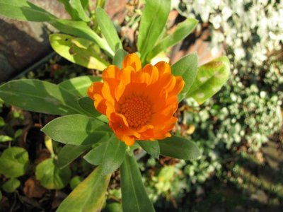 BLOESEMREMEDIE CALENDULA  (Goudsbloem)(Calendula officinalis)  Inhoud 10 cc