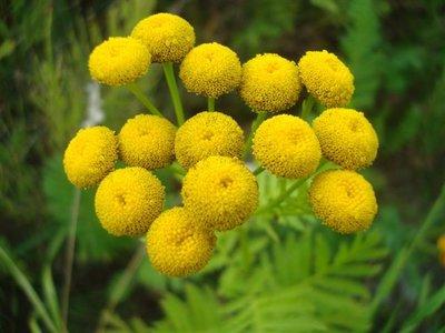 BLOESEMREMEDIE BOERENWORMKRUID (Tansy)(Tanacetum vulgare)  Inhoud 10 cc