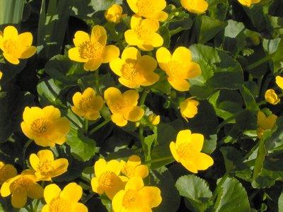 BLOESEMREMEDIE DOTTER (Caltha palustris)  Inhoud 10 cc