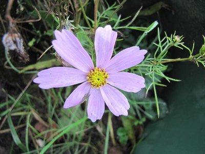 BLOESEMREMEDIE COSMOS (Cosmea)(Cosmos bipinnatus)  Inhoud 10 cc