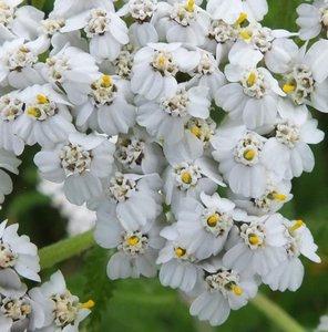 BLOESEMREMEDIE DUIZENDBLAD,WIT (Yarrow)(Achillea millefolium)  Inhoud 10 cc