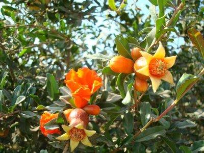 BLOESEMREMEDIE GRANAATAPPEL (Pomegranate)(Punica granatum)  Inhoud 10 cc