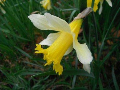 BLOESEMREMEDIE NARCIS (Narcissus pseudonarcissus)  Inhoud 10 cc