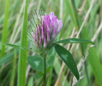 BLOESEMREMEDIE KLAVER, RODE (Red Clover)(Trifolium pratense)  Inhoud 10 cc