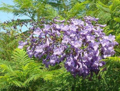 BLOESEMREMEDIE JACARANDA (Jacaranda mimosaefolia)  Inhoud 10 cc