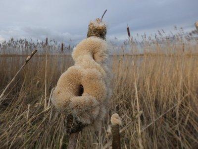 BLOESEMREMEDIE LISDODDE, GROTE (STUIFMEEL) (Cattail Pollen)(Typha latifolia)  Inhoud 10 cc