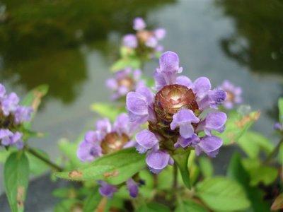 BLOESEMREMEDIE SELF HEAL (Gewone Brunel)(Prunella vulgaris)  Inhoud 10 cc