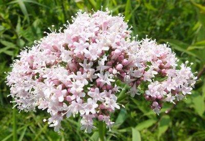 BLOESEMREMEDIE VALERIAAN (Valerian)(Valeriana officinalis)  Inhoud 10 cc