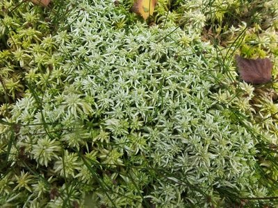 BLOESEMREMEDIE VEENMOS (Sphagnum Moss)(Sphagnum sp)  Inhoud 10 cc