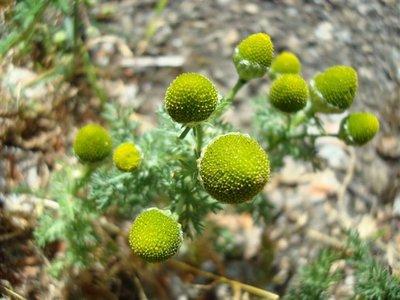 BLOESEMREMEDIE PINEAPPLE WEED (Schijfkamille)(Matricaria matricariodes)  Inhoud 10 cc