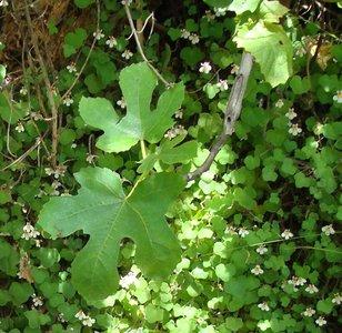BLOESEMREMEDIE VYG (Ficus radula)  Inhoud 10 cc