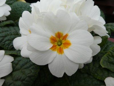 BLOESEMREMEDIE SLEUTELBLOEM (Primula sativa)  Inhoud 10 cc