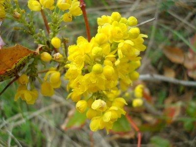 BLOESEMREMEDIE ZUURBES (Oregon Grape)(Berberis aquifolium)  Inhoud 10 cc