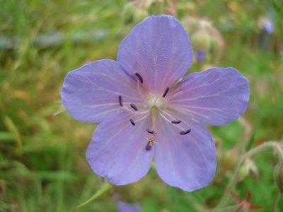 Geranium (blad/bloem) 5 cc etherische olie