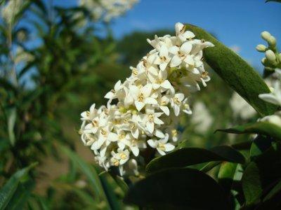 BLOESEMREMEDIE LIGUSTER, WILDE (Ligustrum vulgare) Inhoud 10 cc
