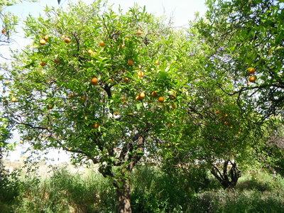 Sinaasappel (schil) 10 cc etherische olie