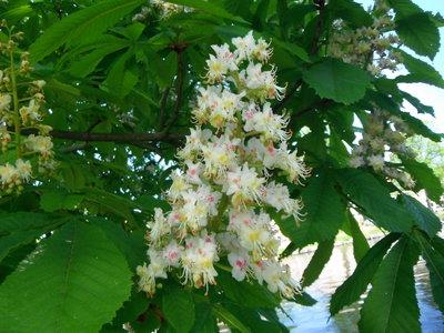 BLOESEMREMEDIE WHITE CHESTNUT (Paardekastanje)(Aesculus hippocastanum)  Inhoud 10 cc