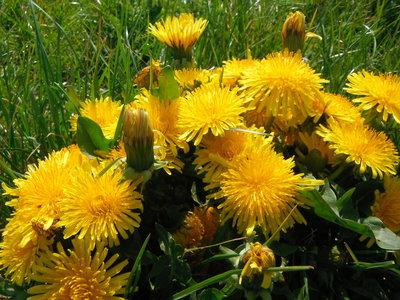 BLOESEMREMEDIE PAARDEBLOEM (Dandelion)(Taraxacum officinalis)  Inhoud 10 cc