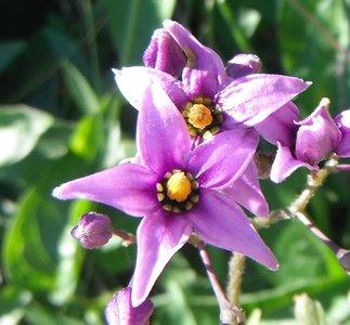 BLOESEMREMEDIE BITTERZOET (Solanum dulcamara) Inhoud 10 cc