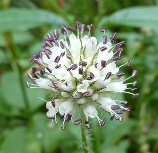 Bloesemremedie kaardebol, kleine (Dipsacus pilosus)  Inhoud 10 cc
